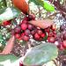 Fruit at Parley Johnson House (0301)