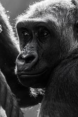 Gorilla - 20140906