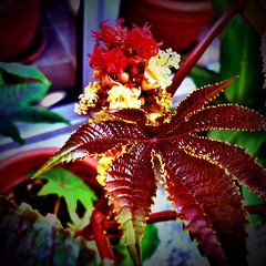 Fleur de Ricin