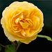 Gelbe Rose auf Schwarz