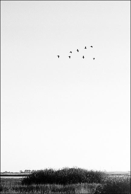 Fehmarn | Gänse, Geese