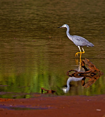 White-faced Heron, Mount Rooper copy