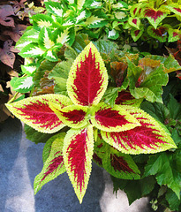 """Coleus Combo"" by My Lovely Wife (Explored)"