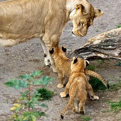 Löwennachwuchs