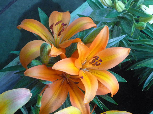 Lilium naranjas