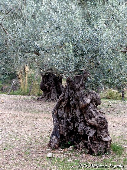 53 Ancient Olive Trees
