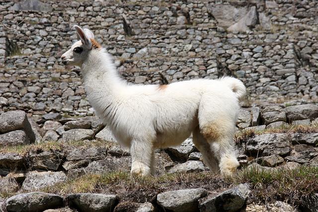 Baby llama (Explored)