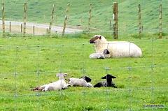 Newborn Lambs and Ewe