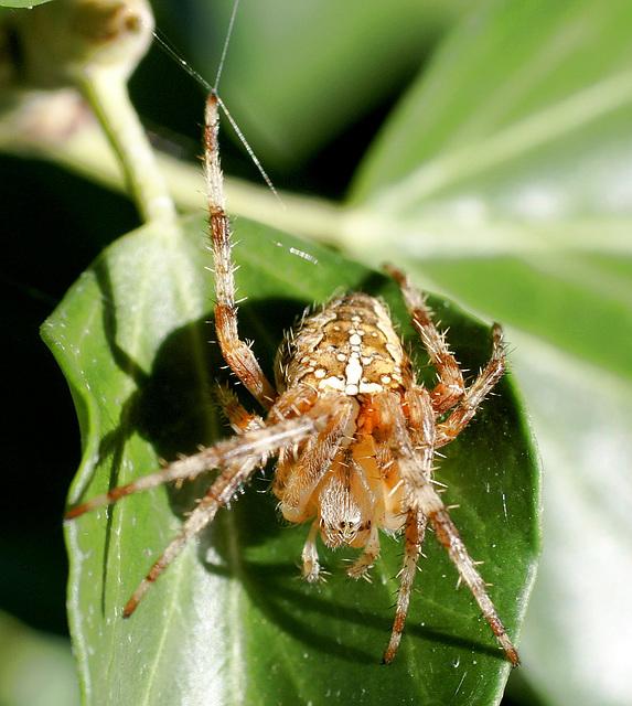 Gartenkreuzspinne (Araneus diadematus) Was guckst Du... ? ©UdoSm