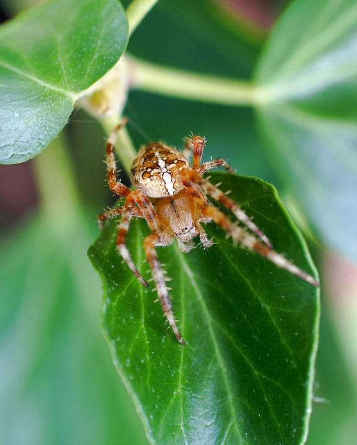 Gartenkreuzspinne (Araneus diadematus). ©UdoSm