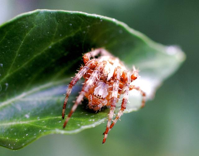 Gartenkreuzspinne (Araneus diadematus) 'Gefährlich'. ©UdoSm