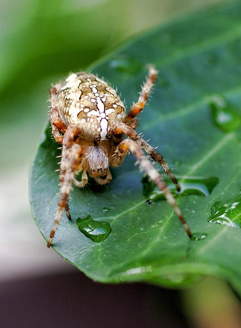 Gartenkreuzspinne (Araneus diadematus) Ja, man trägt die Frisur so in dieser Saison... . ©UdoSm