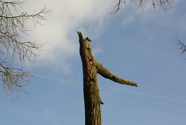 big nose tree