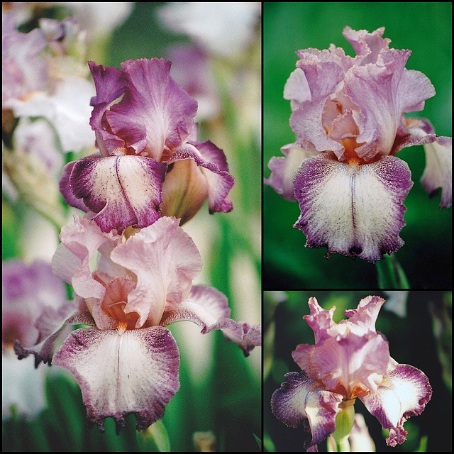 Iris Rancho Rose