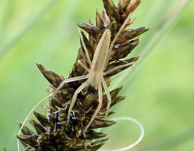 Tibellus species (Running Crab Spider)