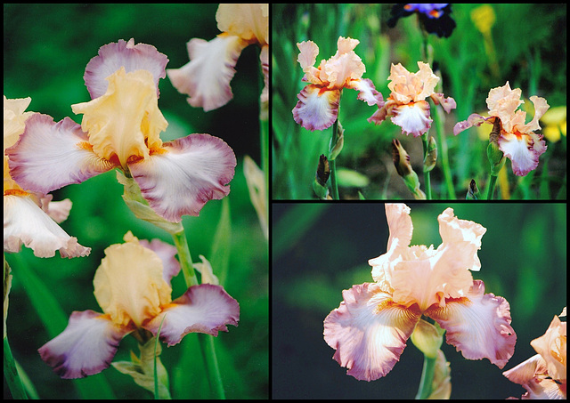 Iris Peach Picotee