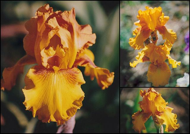Iris Fancy Brass