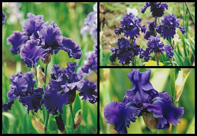 Iris Indigo Princess