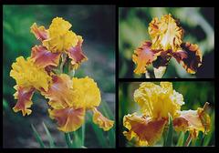 Iris Lioness