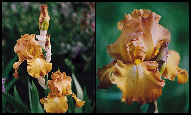 Iris Rustic Cedar