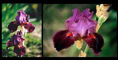 Iris Vin nouveau