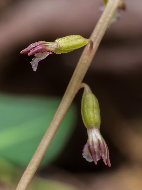 Corallorhiza odontorhiza (Autumn Coralroot orchid)