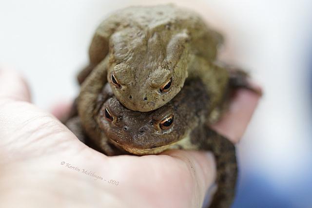 Erdkröten (Wilhelma)