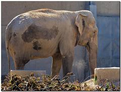 Elefant, trostlos .....
