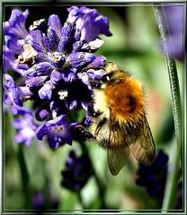 Ackerhummel an Lavendel. ©UdoSm