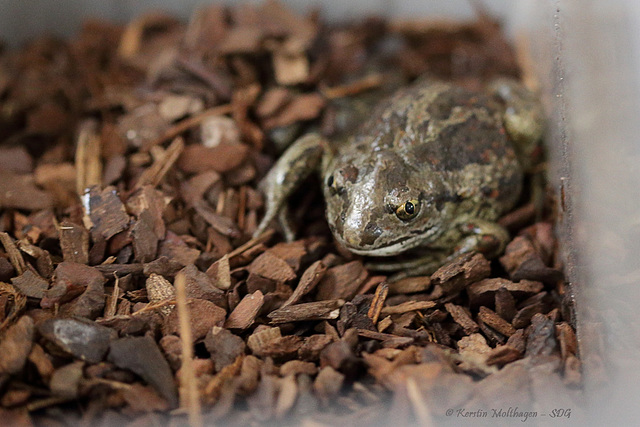Knoblauchkröte (Wilhelma)