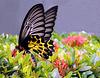 ~The Golden Birdwing Butterfly~