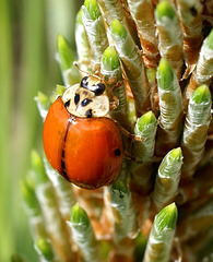 Marienkäfer (Coccinellidae) mit einem Punkt auf frühlingshaften Latschentrieben. ©UdoSm