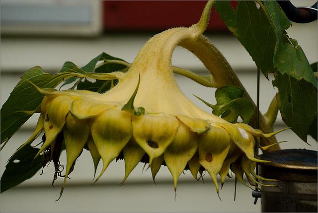 The Return of the Sunflower