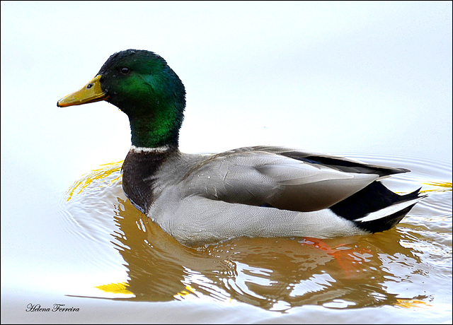 ~ widgeon ~