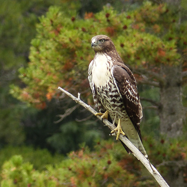 Red-tailed Hawk with tree bokeh