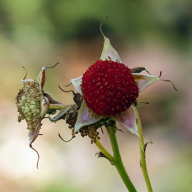 Purple-flowering Raspberry / Rubus odoratus