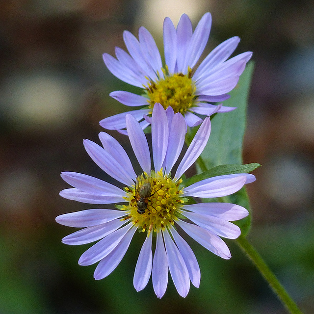 Asters plus fly