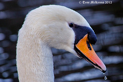 Swan Profile  copy