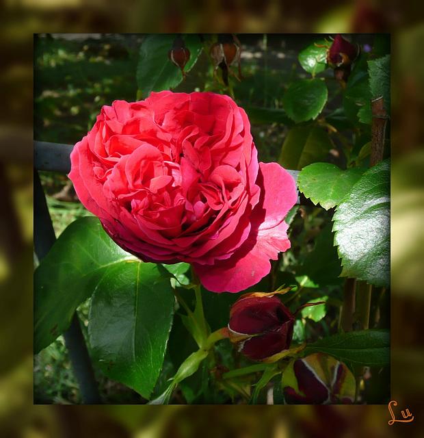** Pour vous     cette rose **