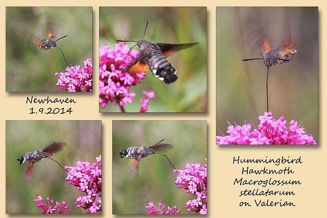 Hummingbird Hawkmoth on Valerian - Newhaven - 1.9.2014