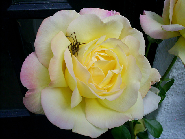 Who'd like to sniff this fragrant rose?