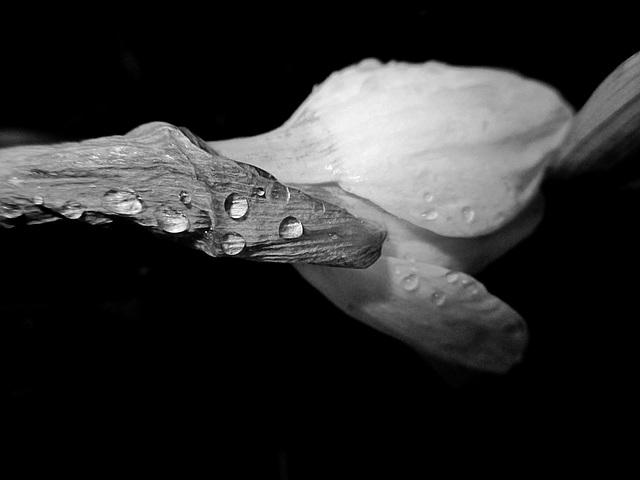 Daffodil 002