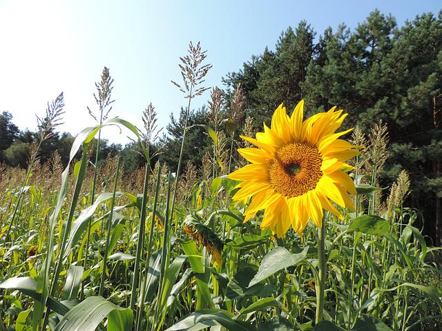 Eingeschmuggelt im Maisfeld