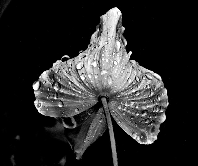 Poppy Drops