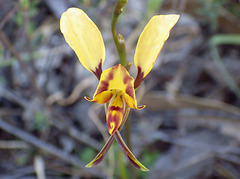 Diuris orientis (Possibly a Hybrid)