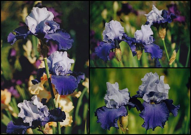 Iris Proud Tradition
