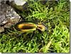 Chrysocarabus splendens