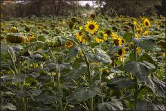 Sunflowers field outside Vinci Village