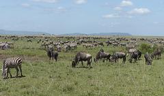Gnous et  zèbres dans le Serengeti