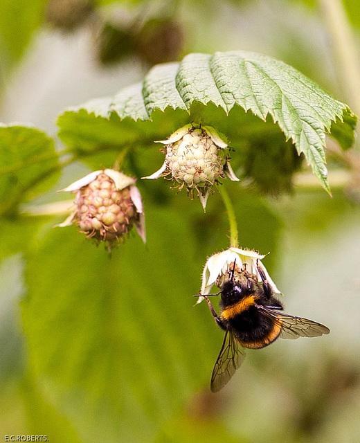 Pollinating.